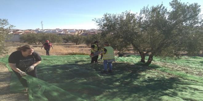 Agricultura recogida aceitunas profea cementerio nov2017
