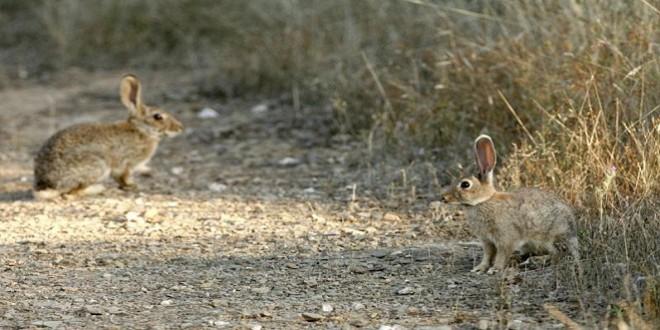 Los conejos son una de las especies que están ocasionando daños en algunas explotaciones agrícolas de la provincia.