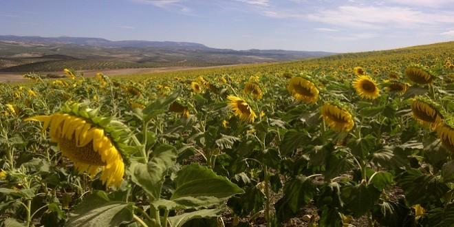 Plantación de girasol en la campiña baenense. Foto de archivo: TV Baena.