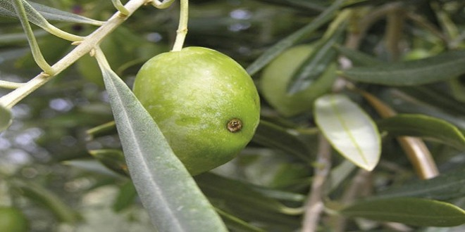El Consistorio autoriza el tratamiento aéreo contra la mosca en los olivares de la DOP Baena - Televisión Baena